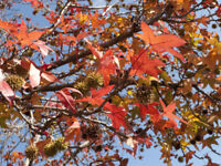 Gartenbaum Samen Rarität seltene Pflanzen schnellwüchsig AMBERBAUM