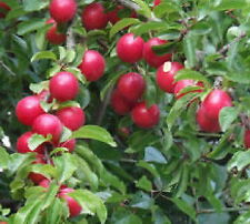 Cherry Plum fruit tree seedling dwarf edible fruiting plant LIVE PLANT Red plums