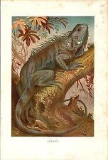 Stampa antica RETTILI IGUANA COMUNE VERDE 1891 Old Antique print