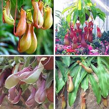 20Pc Pitcher Plant Seeds Purpurea Foliage Carnivorous Shades Flower Home Garden