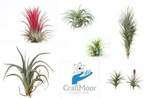Air plants (tillandisa) 6x Air Plant Mix - Craftmoor Air Plants - Free P&P