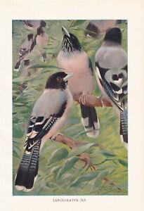 BLACK HEADED JAY BIRD LANCEOLATED JAY BIRD ANTIQUE ART PRINT 1901