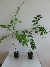 Blauregen Wisteria sinensis Glyzinie Kletterpflanze 20 cm Pflanze