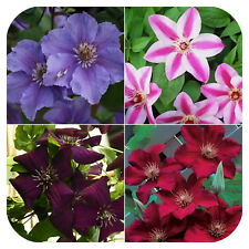 4 x Clematis (Mix 2) Bare Root Plants With Shoots Climbing Vine Flowering shrub