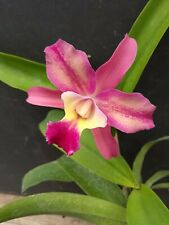 Blc. Momilani Rainbow X Louise Fuchs In Bloom Orchid Plant