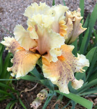 Tall Bearded Iris I MEANT TO DO IT Perennial Plant Rhizome