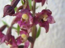 Epipactis artrorubens Dark-Red Helleborine rhizome gartenorchidee