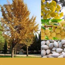 20PCS Ginkgo Biloba Seeds Rare Maidenhair Tree Seed Strong Adaptability Garden