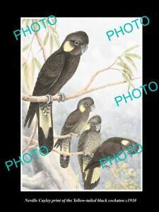 NEVILLE CAYLEY VINTAGE PRINT OF AUSTRALIAN BIRDS 16x11 YELLOW TAILED COCKATOO