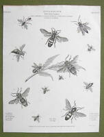ETNOMOLOGY Insects Wasps Hymenoptera - 1814 REES Engraving Print