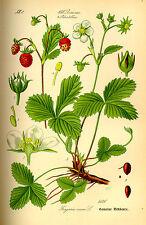 Semillas Fresas de Bosque (Fragaria Vesca) seeds