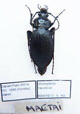 Carabus ohomopterus yaconicus maetai (female A1) from JAPAN (Carabidae)