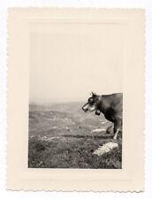 PHOTO ANCIENNE Vache Portrait Tête 1950 Alpage Montagne Cloche Prés Profil