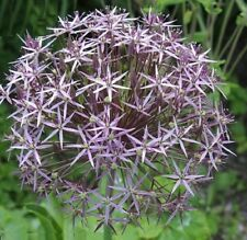 Allium 'Cristophii' / Allium albopilosum / Star of Persia / 30 Seeds