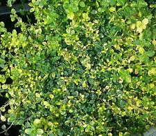 Zitronenthymian Thymus citriodorus Golden Dwarf Sommerblüher Bodendecker