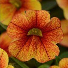 CALIBRACHOA Seeds ~ Crave SUNSET ~ Trailing for Hanging Baskets ~