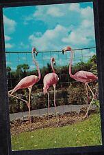 Antique Vintage Postcard Pink Flamingos Florida 1959