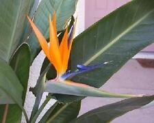 """Orange! Bird Of Paradise Strelitzea reginae 10-12"""" Tall Tropical Plant :)"""
