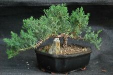 Old Japan Finished Juniper Bonsai Live Tree Ceramic Pot Stone Plant Best Gift