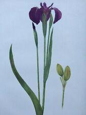 Iris Antique Botanical Print 1913 Iris Setosa, W.R. Dykes