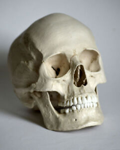 Human Skull Replica - Female