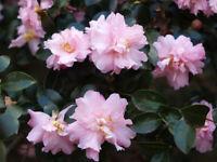 Pink Snow Camellia Sasanqua - Live Plant - Quart Pot