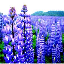 Beautiful Blue/Purple Perennial Lupine Seeds! WOW! Combined S/H! SEE OUR STORE!