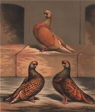 PIGEONS. Almond Tumbler cock; 1½, 2½ & 4 years old. Chromolithograph 1880