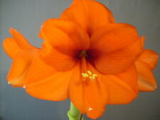 20 Amary 00004000 llis seed Orange Souvereign dried refrigerated ready to go Hippeastrum