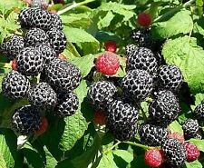 Black raspberry hardy perennial  live plant