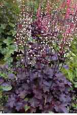 25 PALACE PURPLE HEUCHERA / CORAL BELLS Micrantha Flower Seeds *Comb S/H & Gift!