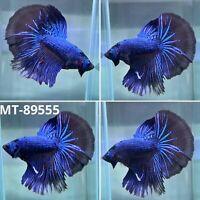 (MT-89555) Black Blue Fancy Tail Over Halfmoon Live Male Betta Fish Grade A+++