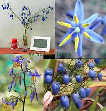 Dianella caerulea, Blue Flax Blueberry Paroo Lily, exotic groundcover / 10 Seeds