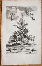 Munting Rare Large Botanical Print Rhubarb - 1696