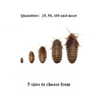 Dubia Roaches - Small, Medium, Large, XL - Live Feeders, FREE SHIPPING!