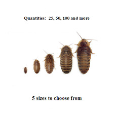 Dubia Roaches - Small, Medium, Large, XL - Live Feeders, Ships Same Day Free
