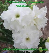 "ADENIUM OBESUM DESERT ROSE TRIPLE FLOWER "" QUATRO JUMBO WHITE "" 20 seeds NEW"