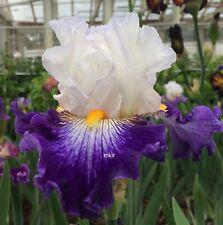 Tall Bearded Iris ~Flash Of Light ~