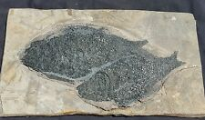 2 FOSSIL TRIASSIC FISH ASIAN LEPITODES SINENSIS MATRIX