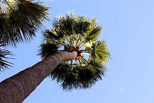1 PLANT Washingtonia robusta PALMA MEXICAN PALM ornamental plant tree no cycas