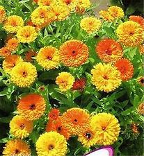 Fd1799 Pot Marigold Seed Calendula Garden Flower Hot Rare ~1 Pack 50 Seeds ✿