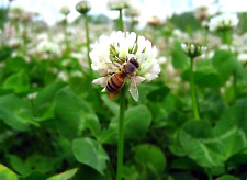 20 grams White Ladino Clover seed. Stabilize soil Nitrogen, Feed Bees, No-till!