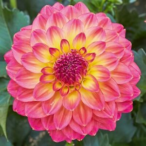 Dahlia 'Power Tropical Punch' 9cm Plant x 2. Beds, pots & and containers.