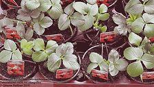 Erdbeerpflanze Osterfee  9 cm Topfware