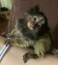 MY TINIEST Marmoset,Tamarins Monkey REAL DISPOSABLE DIAPERS-