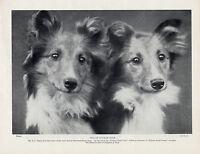 SHELTIE SHEEP shetland sheepdog 11x14  art print animals cards poker