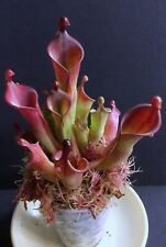 Carnivorous Plants Heliamphora Cherry Top