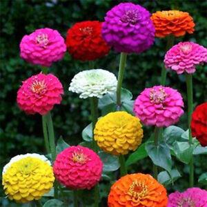 50 Pom Pom Giant Lilliput Seeds Grow Bright Mixed Coloured Garden & Vase Flowers