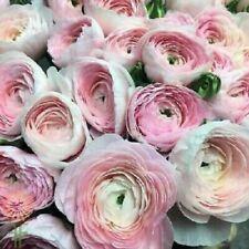 Bulbs Ranunculus Mix Buttercup Tecolote Pastel Perennial Pink Flower Hardy