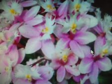 Epidendrum Crucifix Orchid Wedding Valley Sakura Komachi